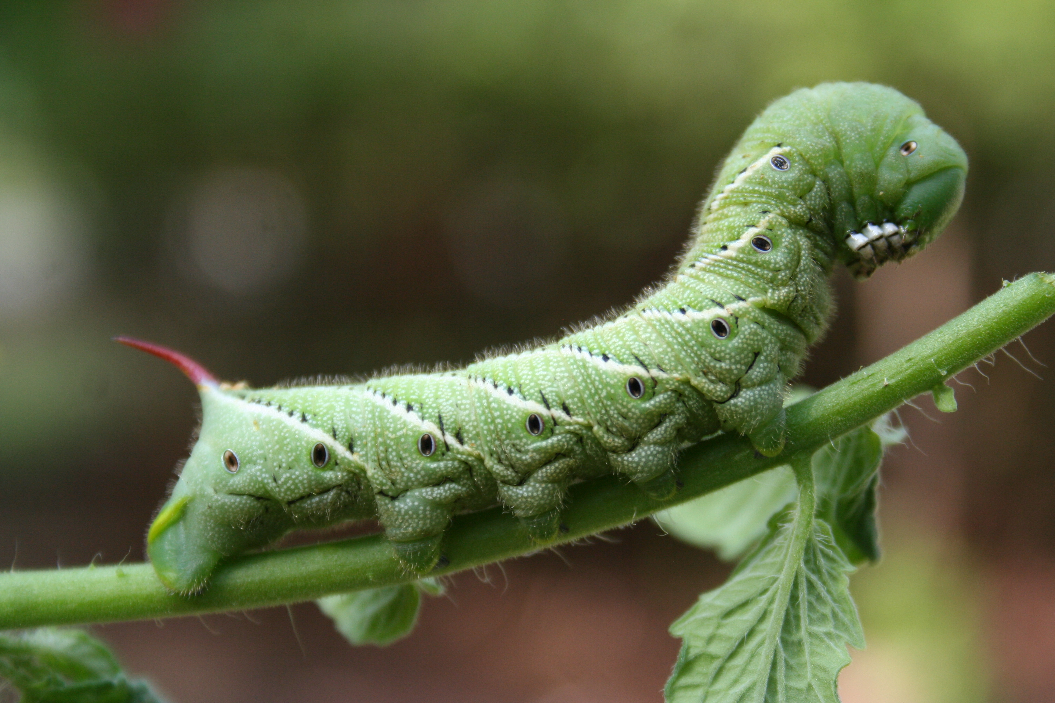 how to kill hornworms on tomato plants