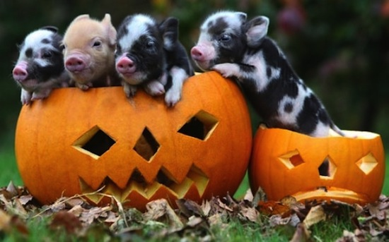 Pig-and-pumpkin